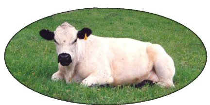 British White Cow with typical black markings