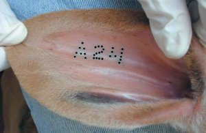 Tattoo Cattle